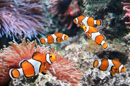 Anémona de mar tropical y pez payaso (Amphiprion percula) en acuario marino Foto de archivo