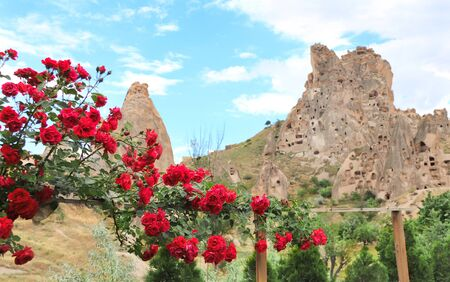 Blooming rose and carved houses in rock in Pigeon Valley, Uchisar, Cappadocia, Turkey. Focus on rose flowers Stockfoto