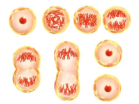 Mitosis process. Division of cell. Isolated on white background. 3d render