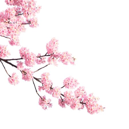 Branch of the blossoming sakura with pink flowers, Japan. Isolated on white background Stockfoto