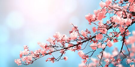 Magical scene with sakura flowers of pink color. Beautiful nature background. Horizontal spring banner with blooming sakura. Copy space for text Reklamní fotografie