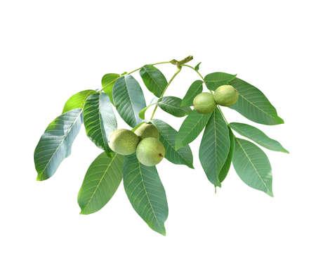 Branch with leaves and green walnuts (Juglans regia, Persian walnut, English walnut, Circassian walnut). Isolated white background