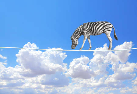 Managing risk concept. Zebra walking on a rope on the blue sky background. Cute zebra on tightrope above the clouds