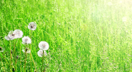 Soft fluffy dandelions on sunny spring background. Beautiful horizontal nature banner with dandelion blowballs. Copy space for text