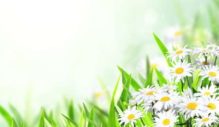 Horizontal banner with blooming chamomile flowers. Sunny summer background with camomile flower. Copy space for text Foto de archivo