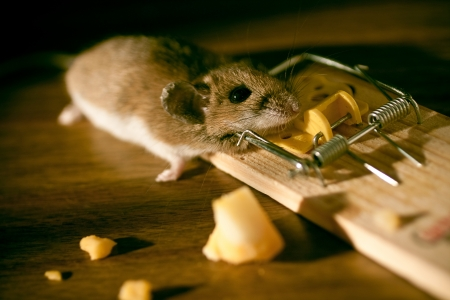 Cheese and Dead Mouse stock in a Mousetrap on the floor inside a house