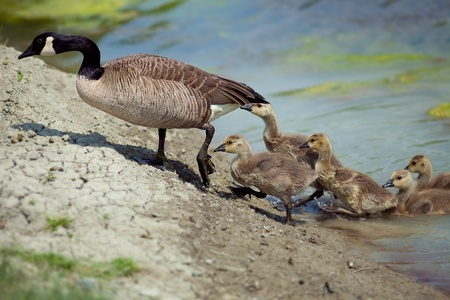 canada goose: Wild Goose with Babys getting out of the water in nature