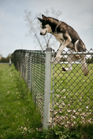 Husky jumping over an outdoor dog park fence photo