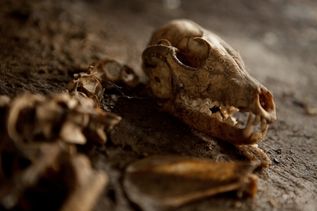 animal skull: Old Abandoned Dog Skeleton on the ground  Spider webs a dust all around  Lots of details  Stock Photo