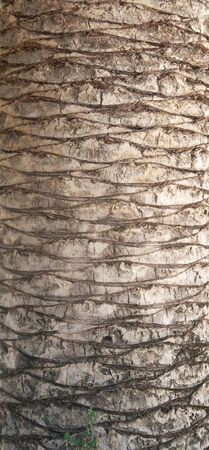 bark palm tree: The bark of palm as background Stock Photo