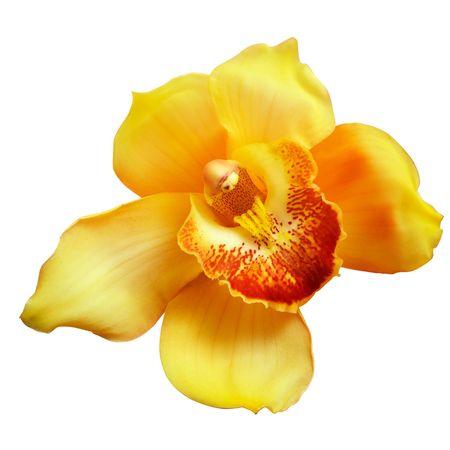 wet: Flor de orquídea amarilla aislado sobre fondo blanco,