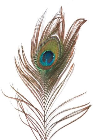 A peacock feather isolated on a white background