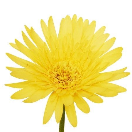 Beautiful daisy gerbera flower. Isolated on white Stock Photo - 9190689