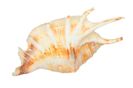 Sea shell isolated on white Stock Photo - 16698038
