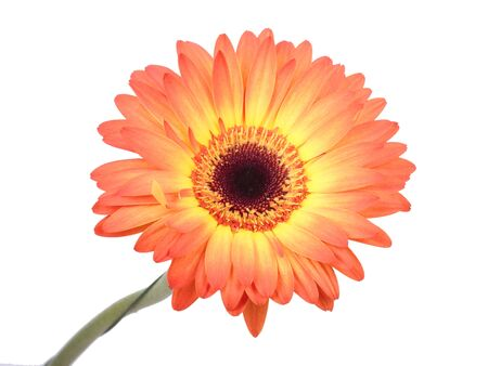 Gerbera flower  Hight res Stock Photo - 16761312
