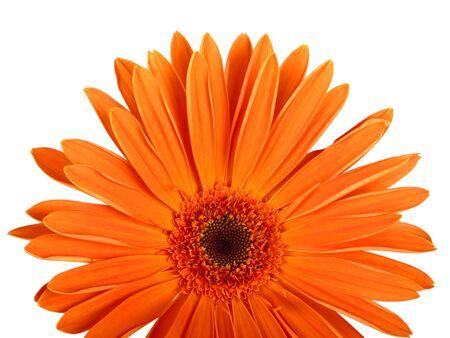 hight: Gerbera flower. Hight res