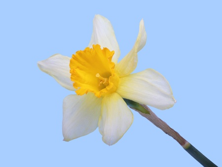 jonquil: Yellow jonquil flower isolated on blue background