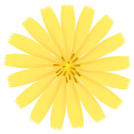 osteospermum: Yellow flower. Vector Illustration. Illustration
