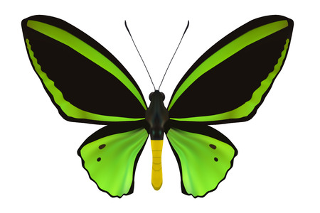 butterfly isolated: Butterfly isolated on white. Vector Illustration