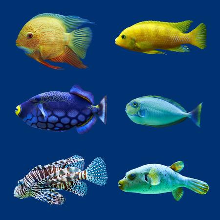 peces de acuario: Conjunto de peces tropicales aislado en azul res Hight Foto de archivo