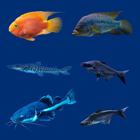 pez pecera: Conjunto de peces tropicales. Aislado en azul. Res Hight.