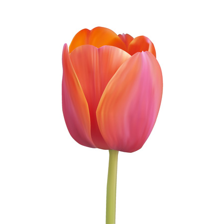 Red tulip. Vector illustration. Isolated on white Vector