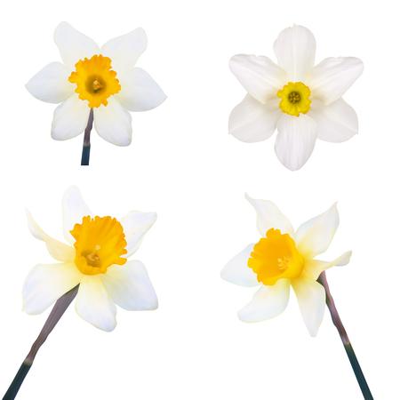 jonquil: Set of Jonquil flower illustration