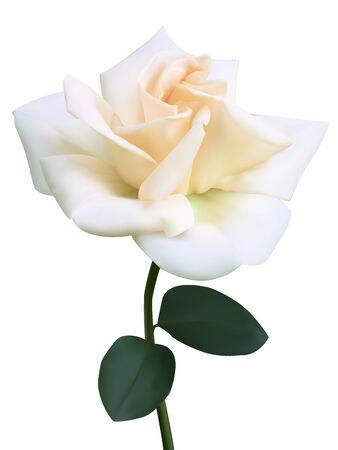 rose blanche: Blanc fleur rose. Photo-r�aliste illustration vectorielle