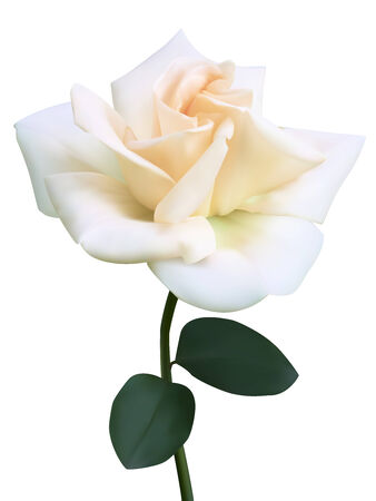 White rose flower. Photo-realistic vector illustration  Vector