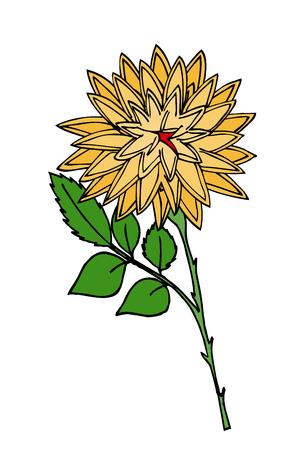 flor aislada: Flor del crisantemo. Aislado en blanco.