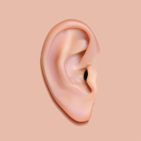 Human ear photo-realistic vector illustration image. Isolated