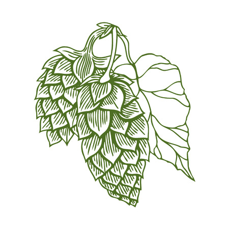 ale: Hops vector visual graphic icon or logo, ideal for beer, stout, ale, lager, bitter labels and packaging etc. Hop is a herb plant which is used in the brewery of beer. Vector illustration.
