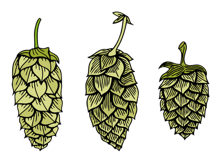 stout: Set of Hops vector visual graphic icon or logo, ideal for beer, stout, ale, lager, bitter labels and packaging etc. Hop is a herb plant which is used in the brewery of beer. Vector illustration.