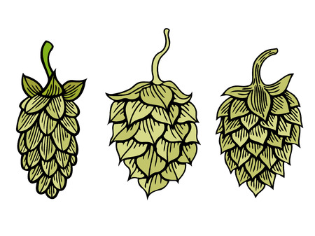 Hop organic herb plant which is used in the brewery of beer. For labels and packaging. Vector engraved illustration. Hand drawn hop Isolated on white background Illustration