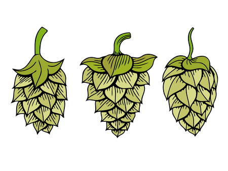 Set of Hops vector visual graphic icon , ideal for beer, stout, ale, lager, bitter labels and packaging etc. Hop is a herb plant which is used in the brewery of beer. Vector illustration.
