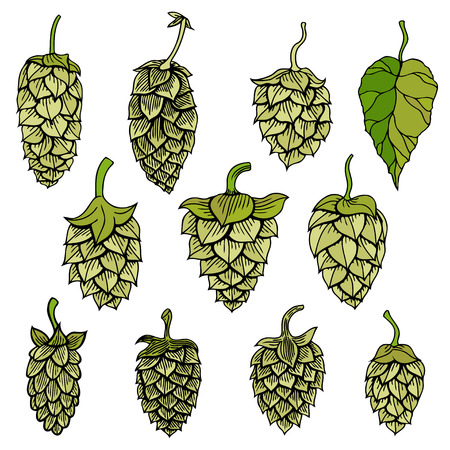 Set of Hops vector visual graphic icon ideal for beer, stout, ale, lager, bitter labels and packaging etc. Hop is a herb plant which is used in the brewery of beer. Vector illustration. Vettoriali