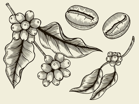 Coffee plant branch with leaf, berry, coffee bean, fruit, seed. Natural organic caffeine. Green coffee, luwak. Black on white background. Hand drawn sketch vector illustration coffe.