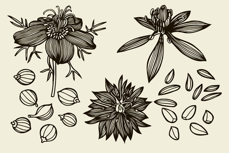 Sketch set of Nigella sativa flowers and leaves isolated on white background. Outline flowers are element for design. Hand drawn contour lines. Vector illustration