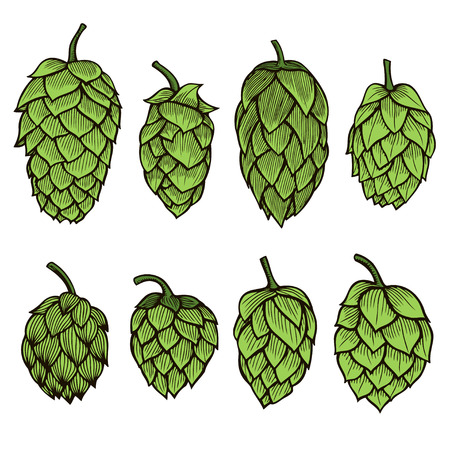 common hop: Colored Hand drawn engraving style Hops set. Common hop or Humulus lupulus branch with leaves and cones. Vector illustration