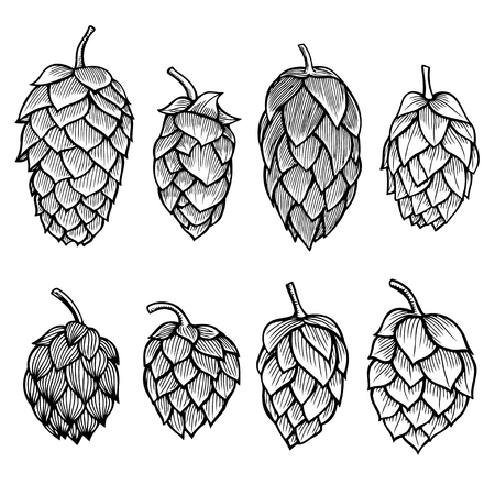 common hop: Hand drawn engraving style Hops set. Common hop or Humulus lupulus branch with leaves and cones. Vector illustration