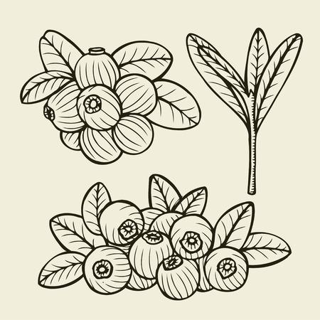 chokeberry: Hand drawn cranberry set. vector sketches illustration Illustration