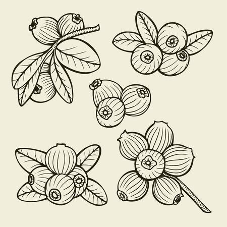 cowberry: Hand drawn cranberry set. vector sketches illustration Illustration