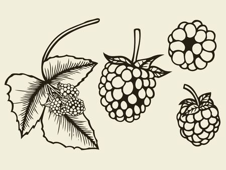 bramble: Blackberry hand drawn sketch. Vector illustration image