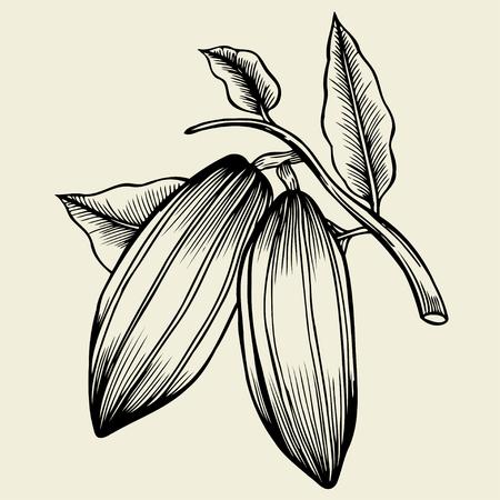 Hand gezeichnete Kakaobohne. Vektor dekorativ in der alten Tintenart.