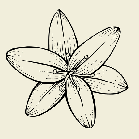 Hand drawn Lily flower, Vector illustration isolated on beige background