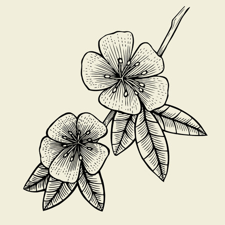 dogrose: Hand drawn sketch Flower of Fruit tree, blossom. Vector illustration isolated on beige Illustration