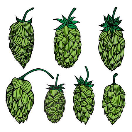 Set og Hop plant vector drawing illustration. Hand drawn artistic beer hopes. Vintage isolated object on white background.