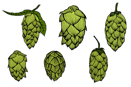 beer garden: Colored Hand drawn engraving style Hops set. Common hop or Humulus lupulus branch with leaves and cones. Vector illustration