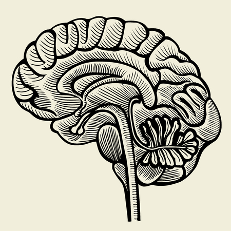 bowels: Human brain - vintage engraved illustration. Vector illustration Illustration