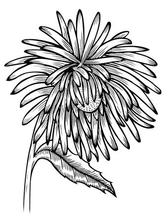 Schwarz-Weiß-Aster Blume isoliert. Handgezeichnete Höhenlinien und Striche. für Grußkarten und Einladungen von Hochzeit, Geburtstag, Muttertag und anderen saisonalen Urlaub Standard-Bild - 77916295